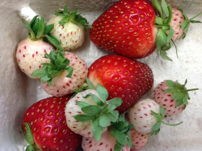 albino erdbeeren seltene fr chtchen machen den erdbeeren. Black Bedroom Furniture Sets. Home Design Ideas
