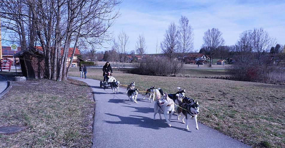 Schlittenhunde ziehen ANTENNE BAYERN-Abenteurer von Weilheim Richtung Zugspitze