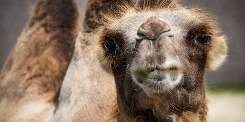 Indras Freizeithighlights für eure Ferien: Kamel-Touren