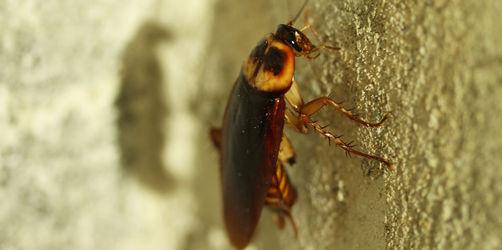 Gift hilft nicht mehr! Nur so rückt ihr deutscher Super-Kakerlake zu Leibe