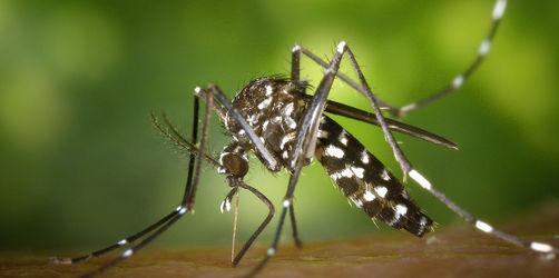 Asiatische Tigermücke in Bayern: So gefährlich sind die Exoten-Blutsauger
