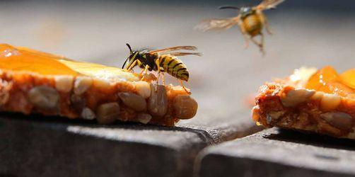 Kommt die Wespen-Invasion wieder? Drohende Strafen und richtiger Schutz