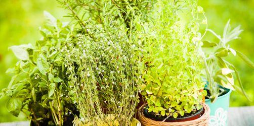 Kräuter auf Balkon, Küche oder Garten: Was muss man beim Pflanzen beachten?
