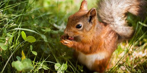 Eichhörnchen verhungern: So schnell könnt ihr helfen