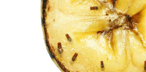 Fruchtfliegen-Plage im Herbst: So werdet ihr sie los!