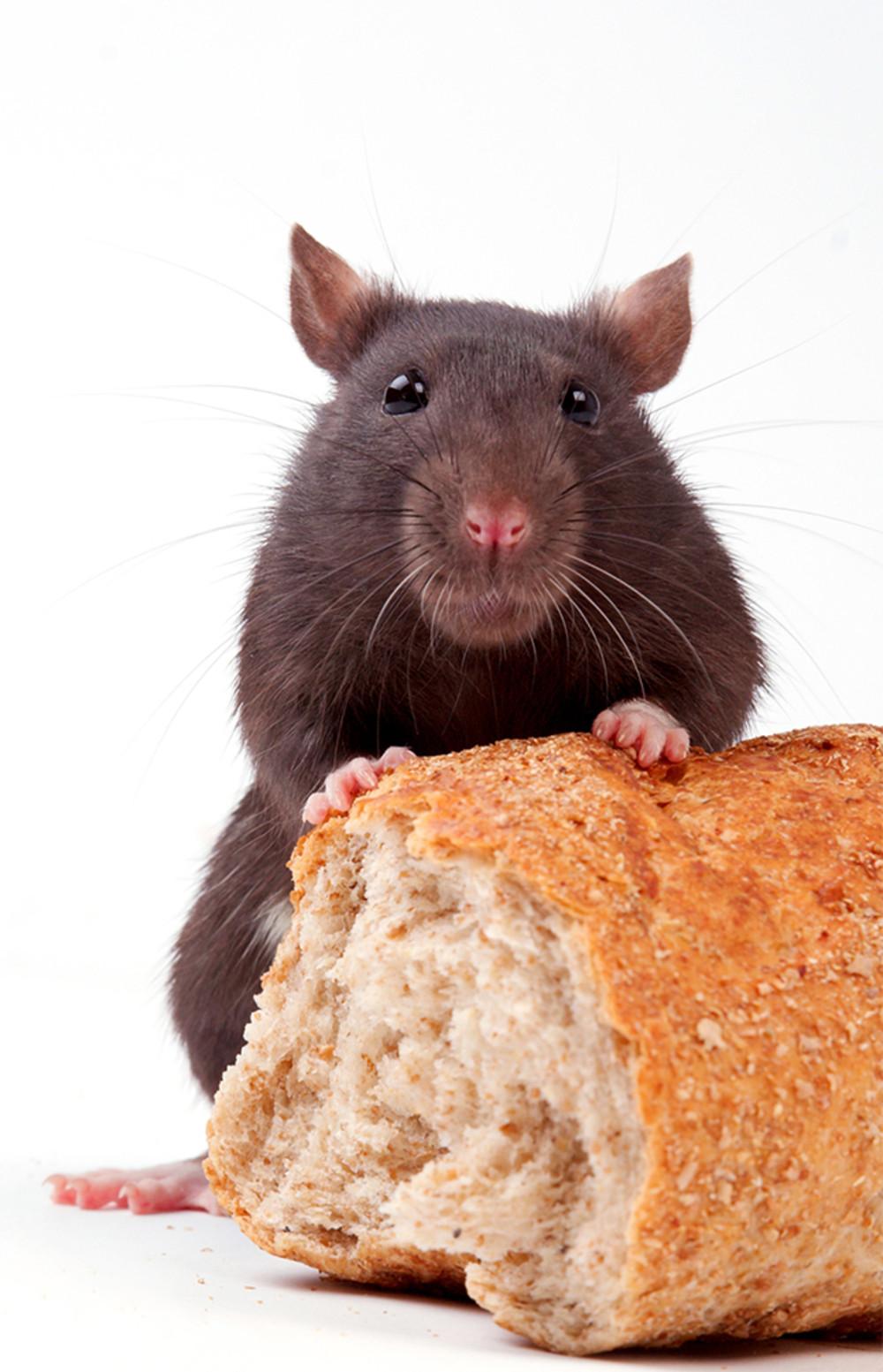klo wird zur t r so kommen m use ratten und co im. Black Bedroom Furniture Sets. Home Design Ideas