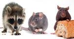 Klo wird zur Tür: So kommen Mäuse, Ratten und Co. im Winter in eure Häuser