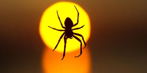 Tarnkünstler, Tänzer, Gentlemen: 10 spannende Spinnen-Fakten zum Staunen