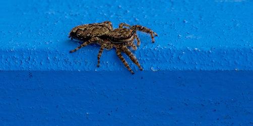 Nix für schwache Nerven: Diese Spinnen sind in Bayern heimisch