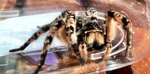 Taranteln in Österreich: Kommen die riesigen Spinnen auch nach Bayern?