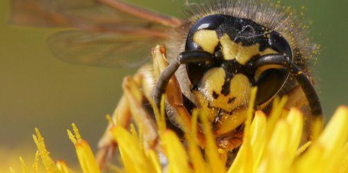 Sommer voller Stiche: Wie gefährlich sind die Wespen heuer wirklich?