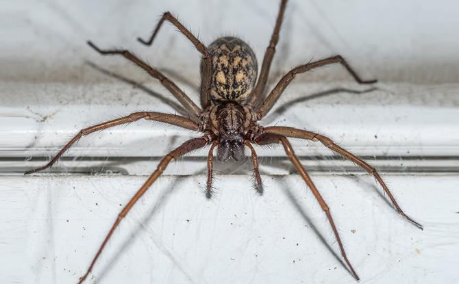 Sie sucht euch wieder heim! Hauswinkel-Spinne kommt – so vertreibt ihr sie