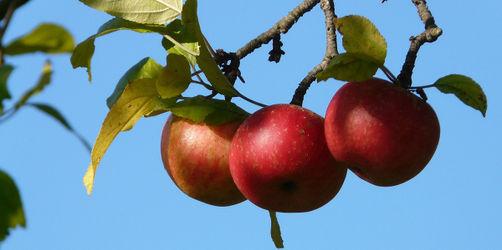 Frische Früchte vom Obstbaum: Hier in Bayern dürft ihr kostenlos pflücken