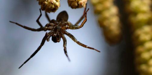 Start der wahren Spinnen-Saison: Jetzt legt der Nachwuchs der Krabbler los