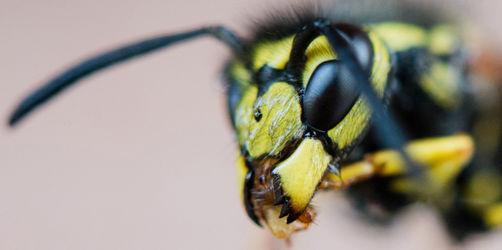 Wespen fernhalten: Warum fliegen sie ins Gesicht - und WAS kann man tun?