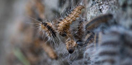 Schädlingsbekämpfung: So kommt ihr gegen den Eichenprozessionsspinner an