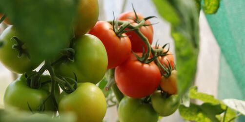 Garten-Hack: So bekommt ihr grüne Tomaten ganz einfach rot