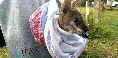 Nach Buschbränden in Australien: Handschuhe für Koalas und Hängebeutel für Kängurus