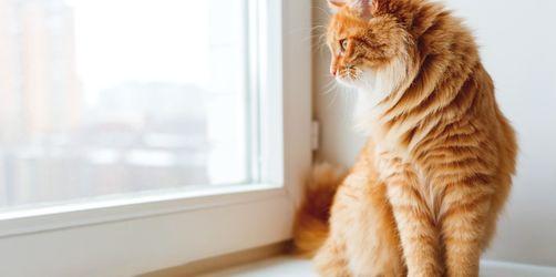 Gekippte Fenster: Die tödliche Gefahr für Katzen