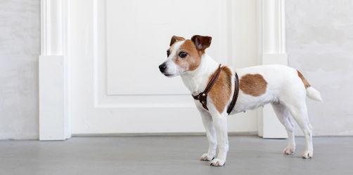 Hund tickt aus, wenn es an der Tür klingelt: Das ist zu tun
