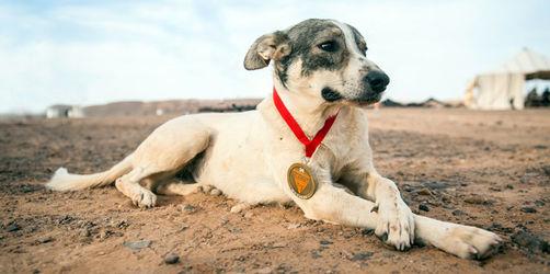 Lauf, Cactus: Streunender Hund begleitet Ultramarathon durch Sahara