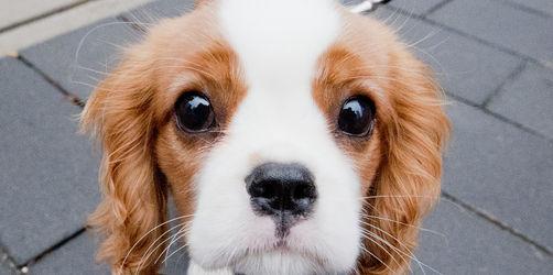 Einfach zu süß: Forscher entschlüsseln Geheimnis des Hundeblicks