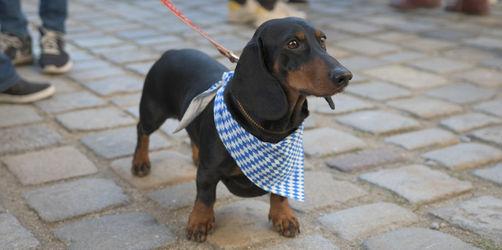 Neues Jahres-Ranking 2019: Das sind die beliebtesten Hunderassen in Bayern