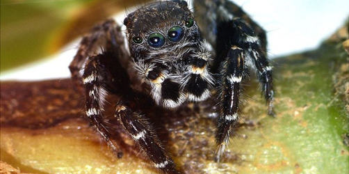 Zu Ehren von Karl Lagerfeld: Neue Spinnenart trägt seinen Namen