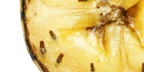 Fruchtfliegen-Plage: Mit diesen Tricks werdet ihr die kleinen Tierchen auf jeden Fall los