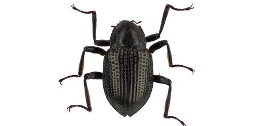 Neu im Promi-Club der Insekten: ein Käfer namens DiCaprio