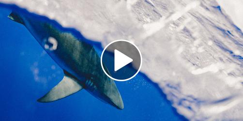 Hai-Alarm in Kroatien: So besorgt müssen Urlauber sein