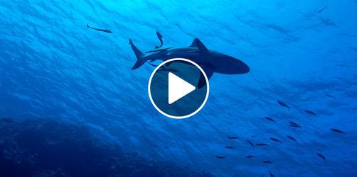 Jetzt auch im seichten Wasser vor der Küste: Neuer Hai-Alarm in Kroatien!