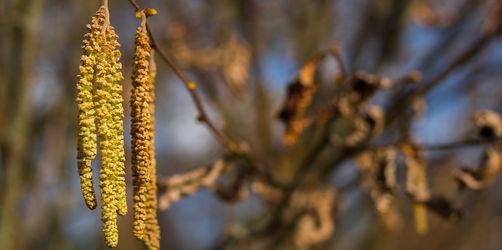 Pollen-Saison in Bayern startet: Checkt hier die Belastung in eurer Region