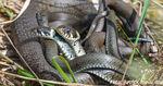 Nach neuem Fund: Diese teils giftigen Schlangenarten gibt es in Bayern