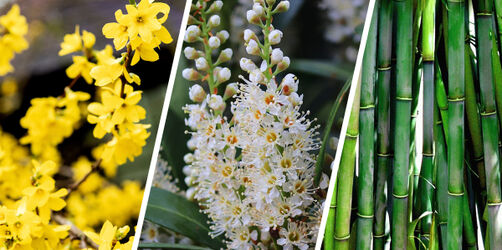Kritik an Trendpflanzen: Bambus, Forsythie & Co. sollen verboten werden
