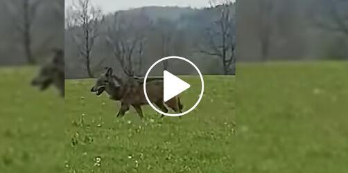 Sensation in Miesbach: Autofahrer filmt freilaufenden Wolf hautnah