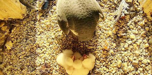 So süß: Das vierte Küken ist geschlüpft - Die Regensburger Falkenfamilie ist komplett!