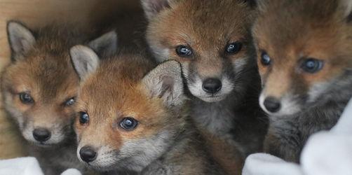 Wilder Zuwachs: vier Fuchsbabys finden Ersatzmama in Steinach