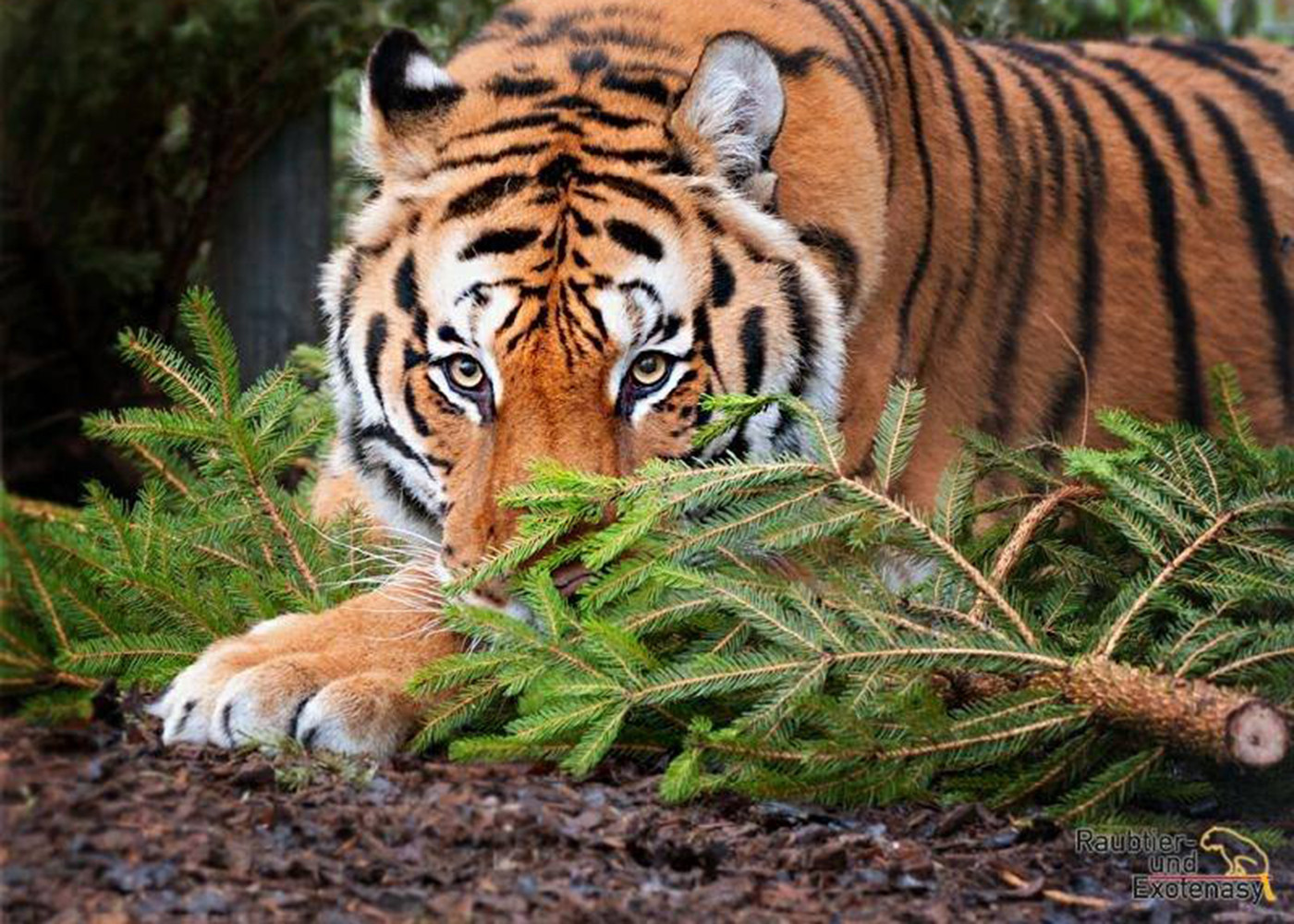 Christbäume Für Die Tiger Im Ansbacher Raubtierasyl