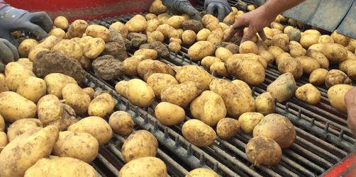 Knappe Knollen - die Kartoffeln werden teurer