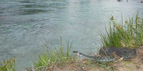 Neue Art in Bayern: Wie gefährlich ist die riesige Stinke-Schlange?