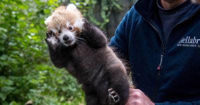 Schon wieder Nachwuchs bei den Roten Pandas in Hellabrunn