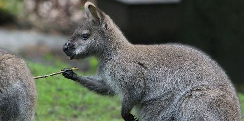 Verrückter Fund auf der A3 bei Würzburg: Polizei stellt Känguru sicher