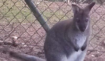 Ausgehoppelt: Polizei Cham sucht nach diesem kleinen Känguru