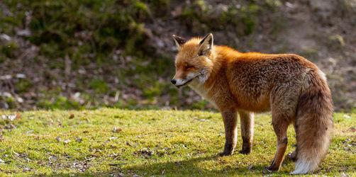 Tödliche Hundekrankheit im Landkreis Neustadt/Aisch-Bad Windsheim: Füchse mit Staupevirus gefunden