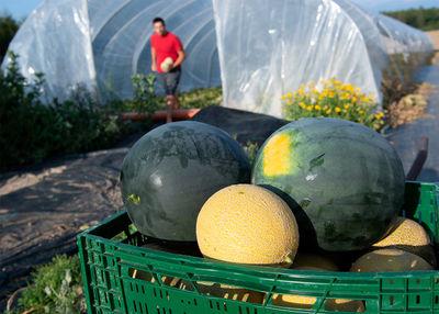 Melonen aus Bayern: Diese Bauern machen es möglich