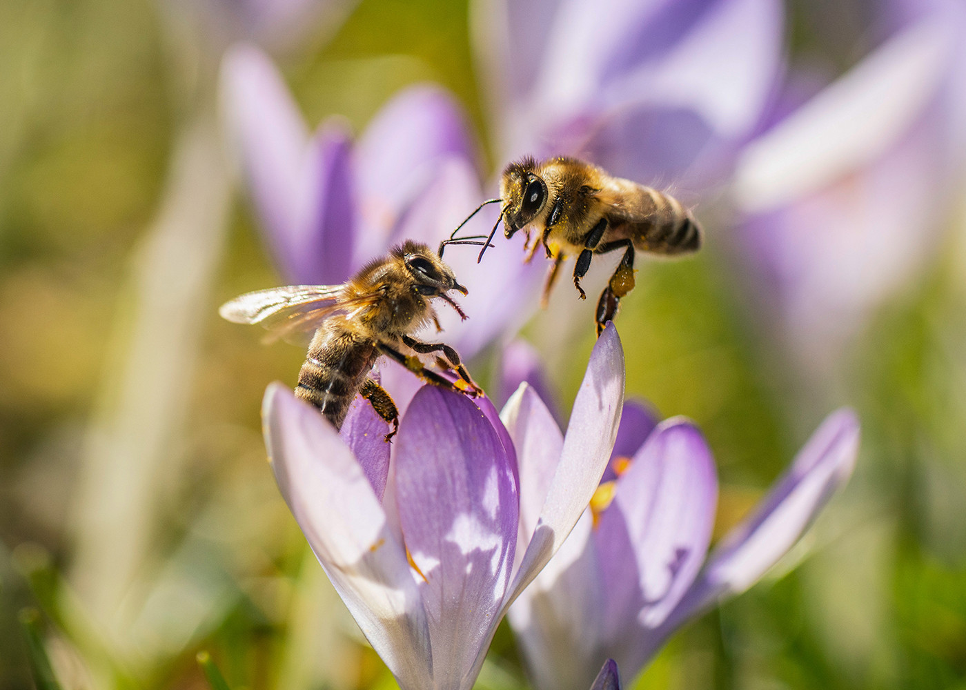 Herbstblüher Für Bienen