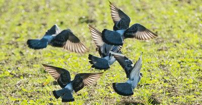 Urteil in Mittelfranken: Bauer muss für tote Tauben zahlen
