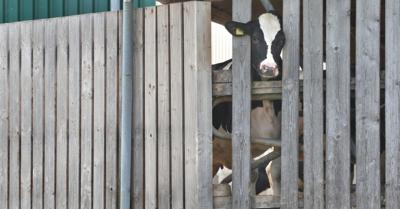Tierskandal im Allgäu: Ermittler durchsuchen weiteren Milchviehbetrieb