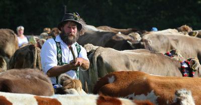 Tierische Tradition: Alle Termine zum Almabtrieb und Viehscheid 2019 in Bayern